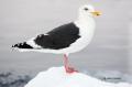 Slaty-backed_Gull