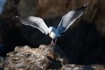 Breeding-Plumage;Color-Photo;Gull;Larus-occidentalis;Rocks;Seabird;Single-Bimage