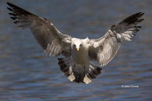Flying-Bird;Larus-occidentalis;One;Photography;Western-Gull;action;active;aloft;