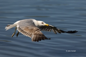 Flying-Bird;Larus-occidentalis;One;Photography;Western-Gulll;action;active;aloft