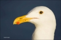 Western-Gull;Gull;California;portrait;one-animal;close-up;color-image;photograph
