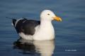 Southwest-USA;Western-Gull;Gull;Larus-occidentalis;California;one-animal;close-u