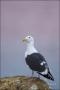 California;Southern;USA;Western-Gull;Gull;Larus-occidentalis;one-animal;close-up