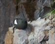 Black-Guillemot;Guillemot;Cepphus-grylle;one-animal;close-up;color-image;nobody;