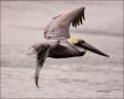Brown-Pelican;Pelican;Pelecanus-occidentalis;flying-bird;one-animal;close-up;col