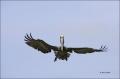 Brown-Pelican;Pelican;Breeding-Plumage;Pelecanus-occidentalis;flying-bird;one-an