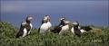 Puffin;Atlantic-Puffin;Fratercula-arctica;Panoramic;one-animal;close-up;color-im