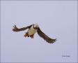 Puffin;Atlantic-Puffin;Flight;Fratercula-arctica;flying-bird;one-animal;close-up
