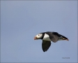 Atlantic-Puffin;Flight;Puffin;Fratercula-arctica;flying-bird;one-animal;close-up