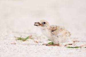 Black-Skimmer;One;Rynchops-niger;Skimmer;avifauna;bird;birds;chick;chicks;color-