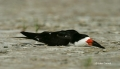 Rynchops-niger;Black-Skimmer;Skimmer;Resting;one-animal;close-up;color-image;pho
