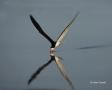 Florida;Southeast-USA;Flight;Rynchops-niger;Black-Skimmer;Flying-bird;One-animal