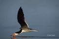 Florida;Southeast-USA;Flight;Rynchops-niger;Black-Skimmer;Flying-bird;action;alo