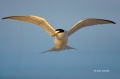 Florida;Southeast-USA;Flight;Least-Tern;Sterna-antillarum;Flying-bird;One-animal