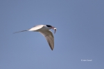 Forsters_Tern