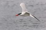 Caspian-Tern;Flying-Bird;Hydroprogne-caspia;Photography;Tern;action;active;aloft