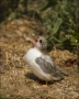 Arctic-Tern;Tern;Chick;Sterna-paradisaea;one-animal;close-up;color-image;nobody;