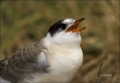 Arctic-Tern;Tern;Juvenile;Sterna-paradisaea;one-animal;close-up;color-image;nobo