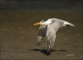 Royal-Tern;Tern;Sterna-maxima;flying-bird;one-animal;close-up;color-image;nobody