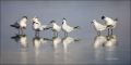 Florida;Royal-Tern;Sandwich-Tern;Tern;Panoramic;feeding-behavior;one-animal;clos