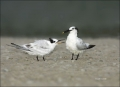 Sandwich-Tern;Tern;Sterna-sandvicensis;feeding-behavior;one-animal;close-up;colo