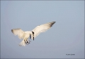 Sandwich-Tern;Tern;Flight;Sterna-sandvicensis;Prey;flying-bird;one-animal;close-