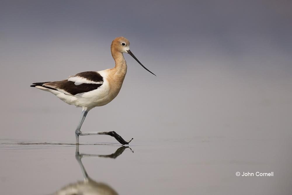 American Avocet;Avocet;Forage;One;Recurvirostra americana;Shorebird;avifauna;beach;bird;birds;color image;color photograph;feather;feathered;feathers;foraging;natural;nature;outdoor;outdoors;shore;water;wild;wilderness;wildlife