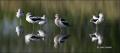 American-Avocet;Avocet;Recurvirostra-americana;Panoramic;shorebirds;close-up;col
