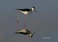 Black-necked-Stilt;Reflection;Himantopus-mexicanus;Shorebird;shorebirds;closeup;