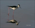 Black-necked-Stilt;Reflection;Himantopus-mexicanus;one-animal;close-up;color-ima