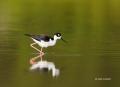 Himantopus-mexicanus;Black-necked-Stilt;One;one-animal;avifauna;bird;birds;feath