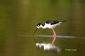 Black-necked-Stilt;Himantopus-mexicanus;Stilt;One;one-animal;avifauna;bird;birds