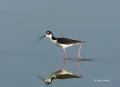 Reflection;Black-necked-Stilt;Himantopus-mexicanus;Black-necked-Stilt;Shorebird;