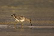 Animals-in-the-Wild;Dowitcher;Limnodromus-griseus;Mud-Flat;Photography;Shorebird
