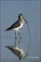 Dowitcher;Limnodromus-griseus;shorebirds;one-animal;close-up;color-image;nobody;