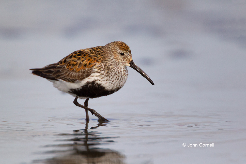 Calidris alpina;Dunlin;Forage;One;Shorebird;avifauna;bird;birds;color image;color photograph;feather;feathered;feathers;foraging;hunter;hunting;natural;nature;outdoor;outdoors;shore;shorebid;water;wild;wilderness;wildlife