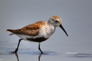 Calidris-alpina;Dunlin;One;Shorebird;Shoreline;avifauna;beach;bird;birds;color-i
