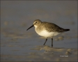 Dunlin;Calidris-alpina;shorebirds;one-animal;close-up;color-image;nobody;photogr