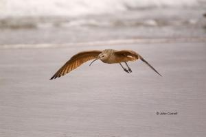 Curlew;Long-billed-Curlew;Numenius-americanus;Sand;Shorebird;Shoreline;Surf;beac