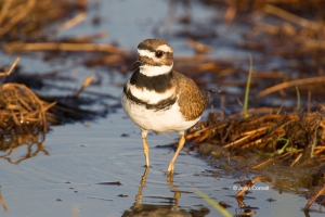 Charadrius-vociferus;Killdeer;Shorebird;foraging;wader;water