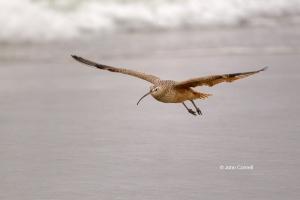 Curlew;Long-billed-Curlew;Numenius-americanus;Shorebird;Wetlands;beach;foraging;