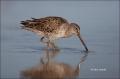 Short-billed-Dowitcher;Dowitcher;Limnodromus-griseus;Shorebird;shorebirds;closeu