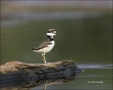 Chick;Killdeer;shorebirds;one-animal;close-up;color-image;nobody;photography;day