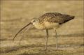 Florida;Long-billed-Curlew;Curlew;Numenius-americanus;feeding-behavior;one-anima