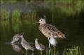 Long-billed-Curlew;Curlew;Numenius-americanus;one-animal;close-up;color-image;no