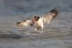American-Oystercatcher;Haematopus-palliatus;Oystercatcher;Shorebird;shorebirds;w