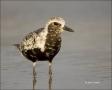 Florida;Black-bellied-Plover;Plover;Pluvaialis-squatarola;shorebirds;one-animal;