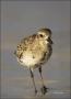 Black-bellied-Plover;Plover;Pluvaialis-squatarola;shorebirds;one-animal;close-up