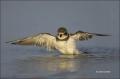 Plover;Flight;Florida;Southeast-USA;Semipalmated-Plover;Charadrius-semipalmatus;