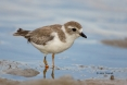 Animals-in-the-Wild;Charadrius-melodus;Florida;Mud-Flat;Photography;Piping-Plove